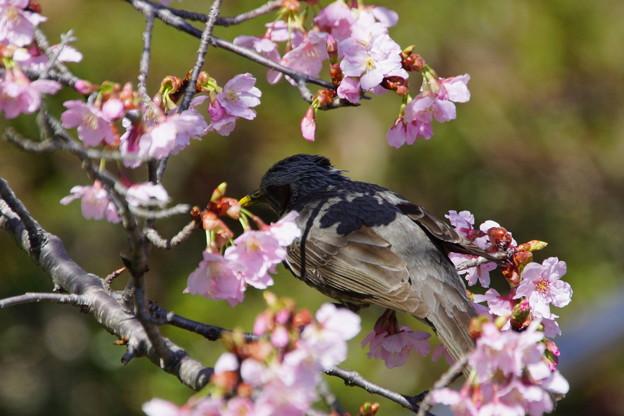 背に桜を背負ってみました