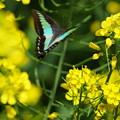 写真: 青い蝶は何処へ行ったか?