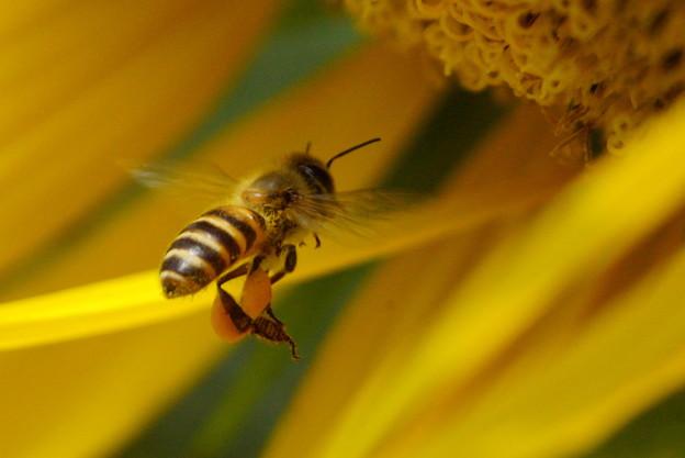 ハチさんは黄色がお好き