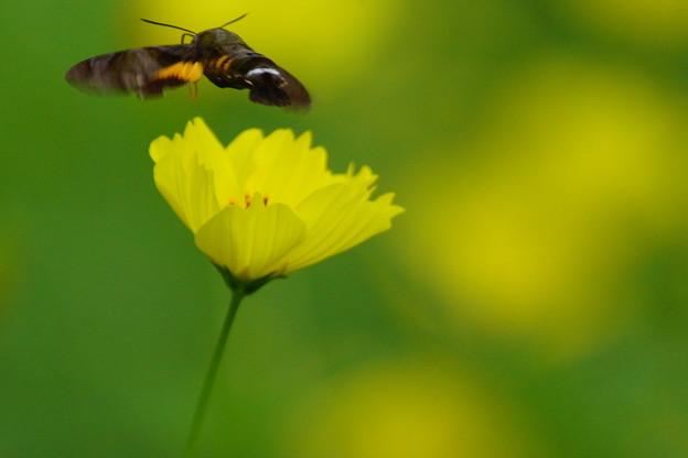 写真: ホウジャクが知らせる秋の花