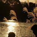 Photos: 湖畔のススキ
