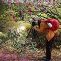 Photos: 椿は散っても美しい
