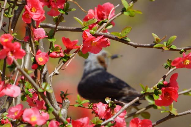 ボケの花とぼけたヒヨドリ