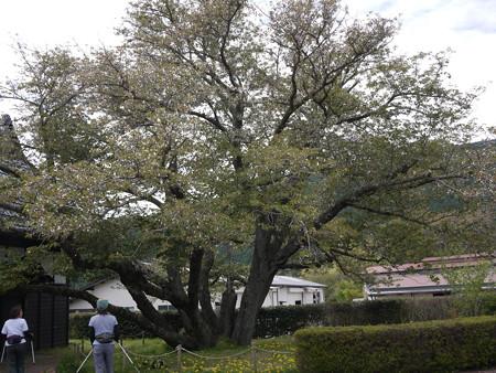 静岡で一番古い木である「ともえ桜」です