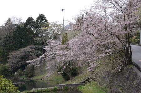ふぅ、、、とまあ、桜公園は満開綺麗ですよー!