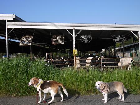 牛さんおはよー!@ビーグルがいる南箱根の景色