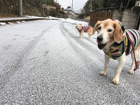 雪でも僕たちは散歩するぞー!(シニア頑張る!)