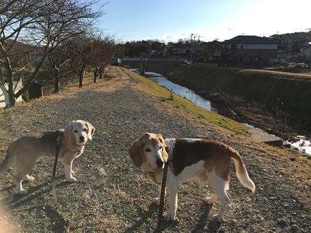 かんなみ桜並木の道を散歩。開花はまだだね。今年もマリうみと桜の写真が撮れそうです!嬉しいな!