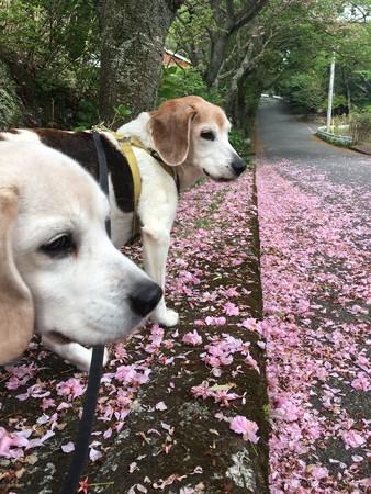 八重桜絨毯とマリうみ