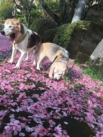 マリンのあくびと、うみ姫のクンクン八重桜絨毯とマリうみ(花とマリうみ)