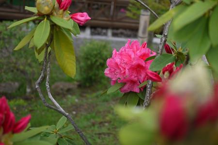 我が家のシャクナゲが咲いてきました
