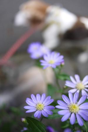 お花中心に撮ると、ビーグルがボケ背景になりますね(苦笑)