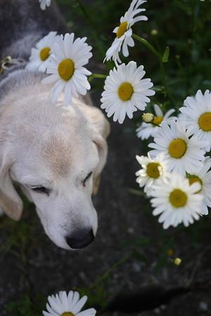 可憐な白いお花と可憐なうみ姫