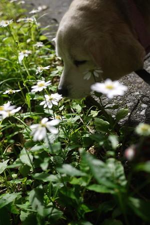 うみちゃんと白いお花