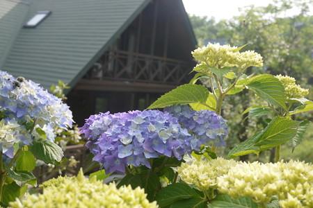 ログハウスと紫陽花、いいね!