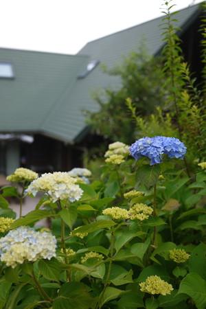 紫陽花とマリうみ家(ログハウスだよ)
