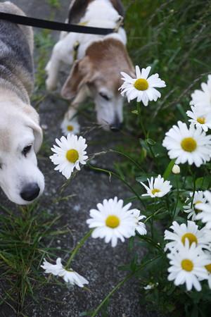 マリうみとお花。まだまだマーガレットは咲いておりましてありがたや
