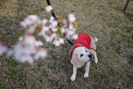 ちょっと、桜もあたちもボケボケじゃないでちゅか!