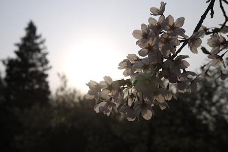 しっとりした感じの桜の光加減