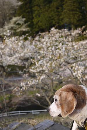 17年目の桜が見えて良かったね