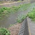 Photos: 葉が横倒しになるくらい流れがあります@函南町柿沢川