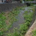 Photos: 生えていた葉にせき止められて実際流れる幅が狭くなっております@函南町柿沢川