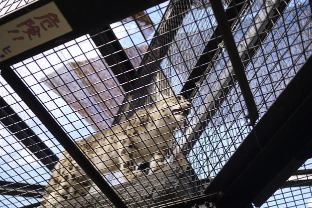 ユキヒョウはまだまだ野生が残ってます(見ている先はエゾシカ!)@北海道一人旅