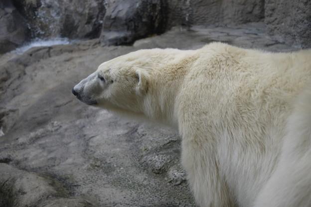 シロクマの毛って透明なんだって!@北海道一人旅