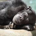 横浜ズーラシア チンパンジー CGAC0I0991