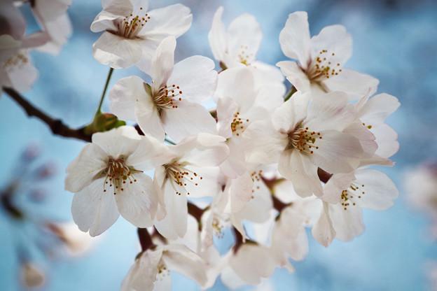 Photos: 上野の桜 CIAC0I0040