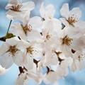 写真: 上野の桜 CIAC0I0040
