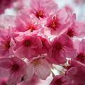 上野の桜 CIAC0I0114