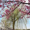 上野の桜 CIAC0I0118