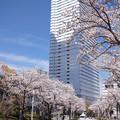 Photos: 横浜の桜 CIAC0I2170