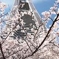 Photos: 横浜の桜CIAC0I2162