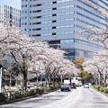 Photos: 横浜の桜CIAC0I2176