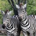 Photos: よこはま動物園ズーラシアのシマウマ CSAC0I7133