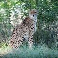 よこはま動物園ズーラシアのチーター