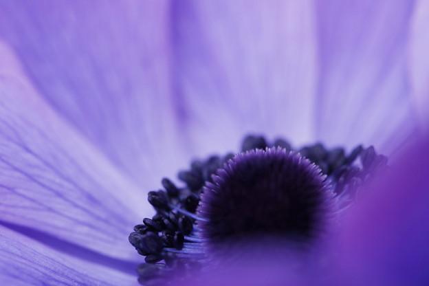 写真: anemone