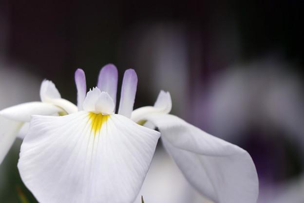 写真: 花菖蒲
