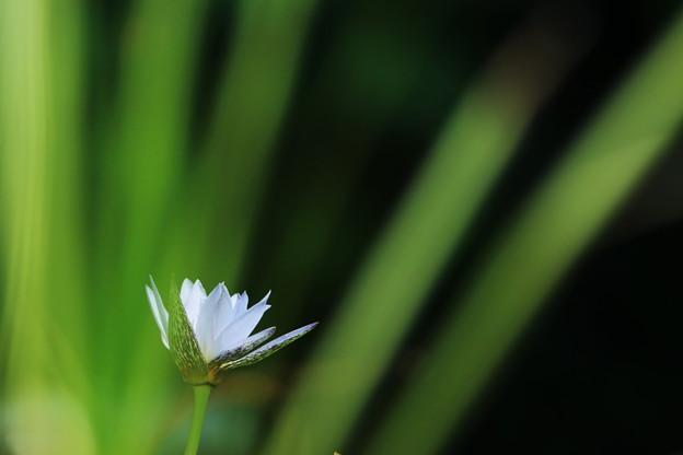 写真: 睡蓮
