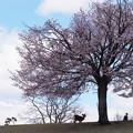 奈良公園 桜