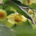 Photos: 黄色の椿