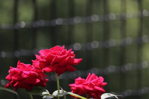 Photos: 夏のバラ