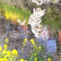 Photos: 桜と菜の花~五条川