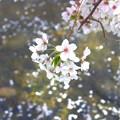 Photos: 桜~五条川