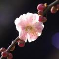 写真: 紅の梅