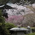 写真: 勧修寺の桜