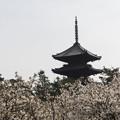 写真: 仁和寺に咲く桜