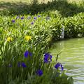 カキツバタ咲く水辺